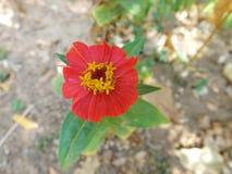 Calendula kwitnienie Zdjęcie Royalty Free
