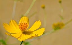 Calendula lub nagietka kwiat Obrazy Stock