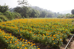Calendula marigold field. With sprinkler Royalty Free Stock Photography
