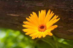 calendula marigold flower Stock Photography
