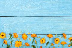 Calendula. Marigold flower on blue wooden background with copy space for your text. Top view royalty free stock photo