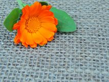 Calendula marigold flower on burlap background. Calendula marigold flower on burlap fabric background royalty free stock image