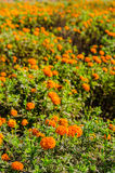 Calendula or marigold flowers in garden Stock Photos
