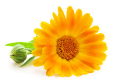 Calendula. Marigold flowers with leaves isolated on white Royalty Free Stock Photography