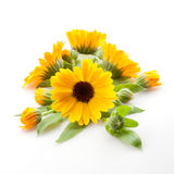 Calendula. Marigold flowers with leaves isolated on white Royalty Free Stock Photo