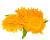 Calendula. Marigold flowers with leaves isolated on white Royalty Free Stock Photos