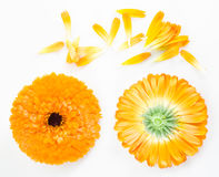 Calendula or marigold flowers and petals. Stock Images