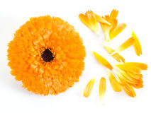 Calendula or marigold flowers and petals. Royalty Free Stock Images