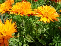 Calendula marigold flowers. Showy excellent bright orange color terry blossoms calendula marigold flowers, medicinal herbs. Delicate dandelion fuzz  in the Stock Image