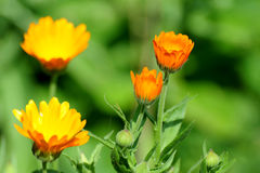 Calendula or Marigold medicinal. Flower bed Royalty Free Stock Photography