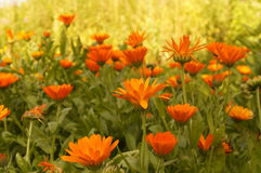 Calendula marigold orange flowers. Field with Calendulas, a marigold orange flowers Stock Photo