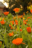 Calendula marigold orange flowers royalty free stock images