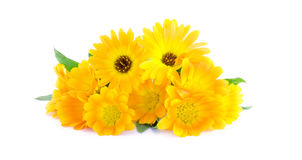 Calendula marigold on white background Stock Images