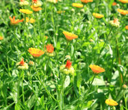 Calendula(Marigolds) flowers. Stock Photo