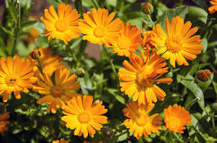 Calendula medical herb Marigold flowers in the meadow Royalty Free Stock Photo