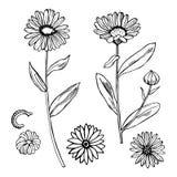 Calendula medicinal örtar stock illustrationer