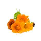Calendula, medicinal herbs Stock Photography