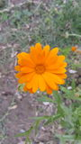 Calendula - medicinal plant / Orange flower. In nature Royalty Free Stock Photo