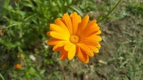 Calendula - medicinalväxt/orange blomma Arkivfoton