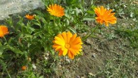 Calendula - medicinalväxt/orange blomma Royaltyfria Foton