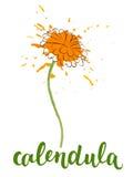 Calendula met kalligrafische naam Stock Afbeeldingen