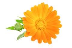 Calendula Nagietka kwiat odizolowywający na biały Tle Zdjęcie Royalty Free