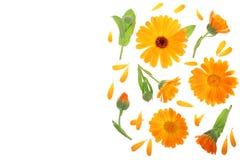 Calendula Nagietka kwiat odizolowywający na białym tle z kopii przestrzenią dla twój teksta Odgórny widok Mieszkanie nieatutowy w Zdjęcia Stock