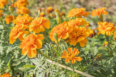 Calendula no jardim Foto de Stock