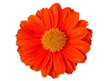 Calendula Officinalis Цветение апельсина общего ноготк Стоковое фото RF