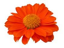 Calendula Officinalis Цветение апельсина общего ноготк Стоковые Изображения
