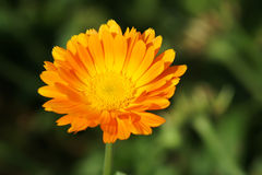 Calendula officinalis. A orange calendula officinalis is abloom Stock Photos