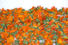 Calendula officinalis Stock Photography
