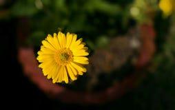 Calendula Officinalis stockbilder