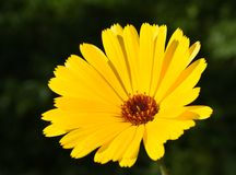 Calendula officinalis Royalty Free Stock Images