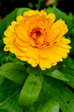 Calendula Officinalis obrazy stock