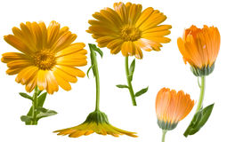 Calendula officinalis Royalty Free Stock Images