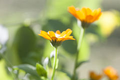 Calendula officinalis Immagine Stock