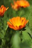 Calendula Officinalis Arkivfoto