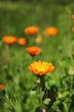 Calendula Officinalis Arkivfoton