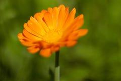 Calendula Officinalis Arkivbild
