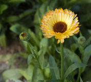 Calendula Officinalis Стоковые Изображения RF
