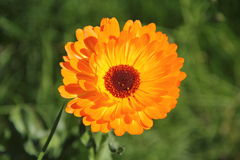 Calendula Officinalis Photos stock