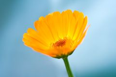 Calendula Officinalis Stock Photography