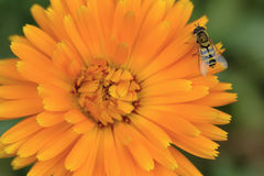 Calendula Officinalis Stockfoto