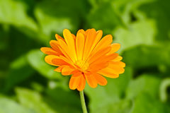 Calendula Officinalis royalty-vrije stock foto
