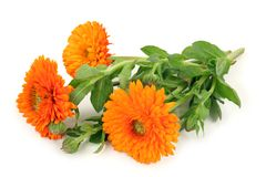 Calendula officinalis Stock Photos