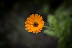 Calendula Officinalis Obrazy Royalty Free