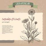 Calendula officinalis aka pot marigold sketch. Green apothecary series. Great for traditional medicine, or gardening Stock Photo