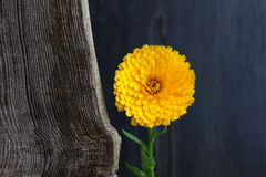 Calendula Officinalis Asteraceae Perennials Yellow Flower Royalty Free Stock Image