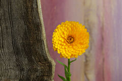 Calendula Officinalis Asteraceae Perennials Yellow Flower Stock Images